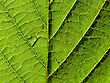 Green Leaf