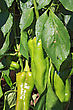 Stock Photo : Small Stock Image: Green Pepper On Branch In Hothouse
