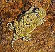 A Juvenile Desert Horned Lizard stock photo