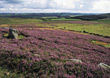 Stock Photo : Landscape Pictures: Landscape with Blooming Heather