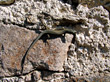 Stock Photo : Lizard Stock Photo: Lizard on Rock Wall