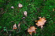 Grass Maple leaves on the ground in autumn stock image