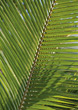 Leaf Stock Image: Palm Leaf