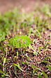 Plant Growing From Soil On Ground With Green Grass - stock photo