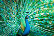 Tropical Portrait Of Peacock With Feathers Out - stock photo