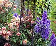 Roses And Delphiniums, Sandford Road, Dublin, Ireland stock photo