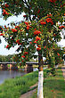 Landscape Rowanberry In Park On Coast River stock photo