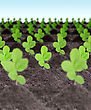 Rows Of Young Green Plants In A Dirt On Sky Background. Art Design. Close-up. Studio Photography stock photography