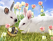 Two Rabbits On A Field With Chocolate Eggs And Tulips