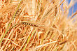 Wheat Ears Close-up stock photo