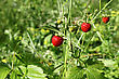 Stock Photo : Sunlight Stock Photo: Wild Strawberry