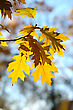 Yellow Autumn Oak Leaves On Trees In Park. stock image